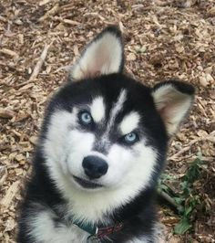 Meet VIVIENE, a Petfinder adoptable Siberian Husky Dog | Powder Springs, GA | Please contact Jennifer (daysden@live.com) for more information about this pet.THIS PUPPY HAS...