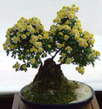 chrysanthemum bonsai, bonsai trees, mum bonsai, mums