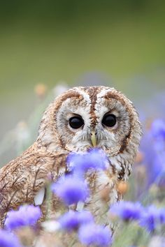 A Tawny Owl ~ At The Barn Owl Centre, Gloucester, UK.  (Photo  By: Greg Morgan - Wildlife Photographer.)