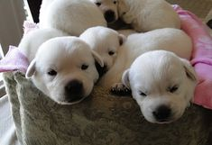 I really enjoy raising our beautiful WHITE labrador Retrievers at our ranch in TEXAS! www.legacy-labs.com is our website and www.facebook.com/... is our Facebook page. We lovingly raise our gorgeous pups and are happy to answer any questions that you may have!