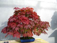 otoño bonsai - Buscar con Google