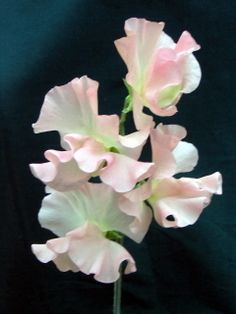 Pink sheads of Spencer Sweet Peas seeds to purchase online