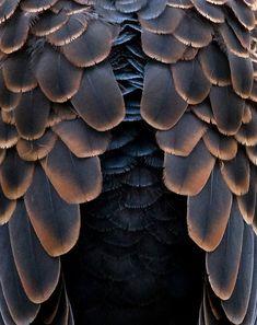 Oriental Turtle Dove | ©Y. Naraki
