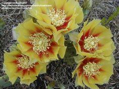 PlantFiles: Picture #1 of Black-Spine Prickly Pear, Purple Prickly Pear, Red-joint Prickly Pear, Texas Santa Rita (Opuntia macrocentra)
