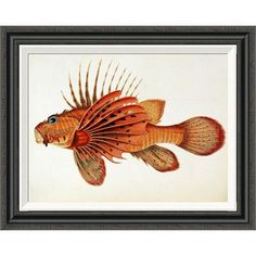 Global Gallery 'Fishes Found on the Coast of Ceylon' by John Whitchurch Bennett Framed Painting Print Size:
