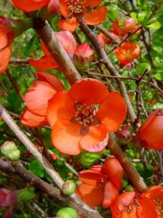 Chaenomeles japonica 'Orange Delight' Japanese flowering quince Rosaceae (Rose family) Japan