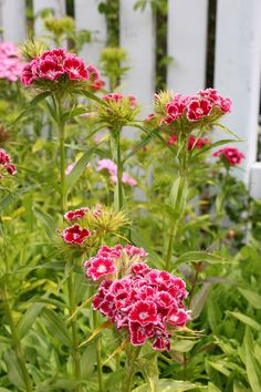 Sweet William, dad loved gardening and his borders always had sweet william in them.