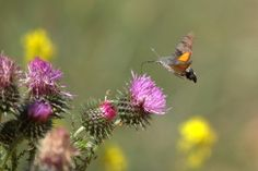 Insectos. Foto de mariposa esfinge colibrí libando el nectar de un cardo azul.
