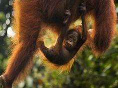 Un orangután bebé colgado de su su madre