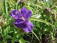 Sweet Kate  Common Name: spiderwort Type: Herbaceous perennial Family: Commelinaceae Zone: 4 to 9 Height: 0.75 to 1.00 feet Spread: 0.75 to 1.00 feet Bloom Time: May to July Bloom Description: Purplish-blue Sun: Full sun to part shade Water: Medium to wet Maintenance: Medium Suggested Use: Rain Garden Flower: Showy Leaf: Colorful Tolerate: Wet Soil