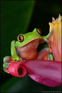 Yellow-eyed Tree Frog (Agalychnis annae), Costa Rica.