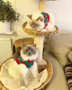 Can you se we are a couple? #minivaniljer #minivaniljerna2013 #mazarin #popcorn #poppylove #birma #birman #breeder #catsofinstagram #chokladochvanilj #pinkalicious #welovecats #we_love_cats #excellent_cats #bestcats_oftheworld #bestmeow #birman_feature #birmavanner