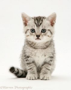 Silver tabby British Shorthair kitten photo - WP20685 See more cute kitten at - Catsincare.com