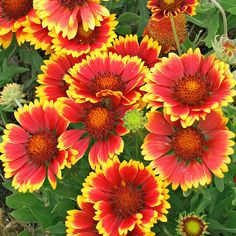 Blanketflower is a heat- and drought-tolerant wildflower that provides long-lasting color in a sunny border with poor soil. Its daisylike, 3-inch wide, single or double flowers bloom through the summer and into the fall.Zones 3-8/