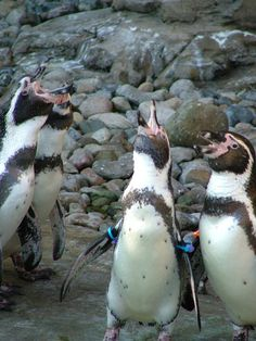 Humboldt Penguins at the Akron Zoo