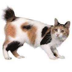 """""""Mi-ké"""", el gato Bobtail. http://blog.theyellowpet.es/el-gato-bobtail/"""