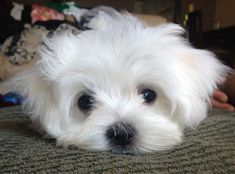 Maltese | A Definitive Ranking Of The Cutest Puppies #Maltese