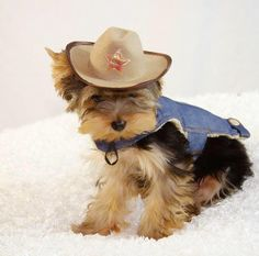 Adorable little yorkie puppy in his cowboy costume – Adorable pictures of dogs wearing clothes Cute Costumes, Dog Costumes, Adorable Pictures, Dog Pictures, Training Collar, Dog Training, Cowboy Outfits, Yorkie Puppy, Free Dogs