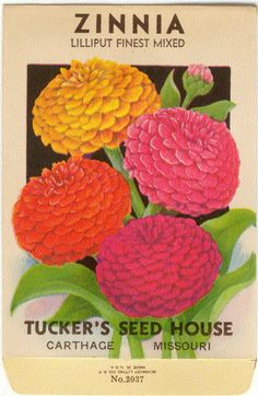 ZINNIA LILLIPUT Finest Mixed Vintage Flower Seed by dvioletlady