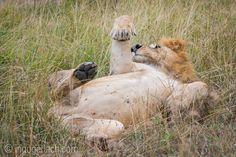 Relaxed Lion King. | Masai Mara. | Kenya. |  www.ingogerlach.com