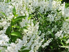 Deutzia shrub