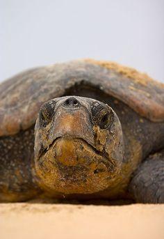 Tracking Leatherback turtles along the Elephant Coast Kinds Of Turtles, Cute Turtles, Sea Turtles, Beautiful Creatures, Animals Beautiful, Cute Animals, Wild Animals, Turtle Beach, Turtle Love