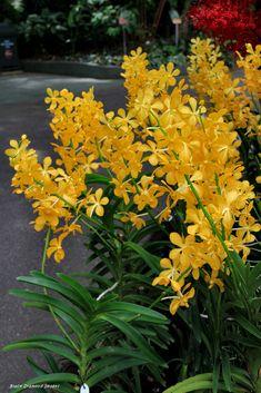 https://flic.kr/p/qk4NXy | Mokara Bangkok Gold X Ascda Fuchs Gold - National Orchid Garden, Singapore Botanic Gardens, Singapore | © All Rights Reserved - Black Diamond Images Family : Orchidaceae