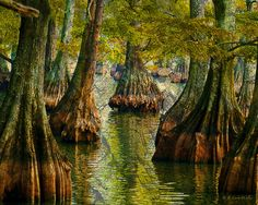 Cypress trees @ Reelfoot Lake, TN