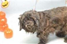 SUGARS – 9768- SUPER URGENT -STRAY-  BROOKLYN -   10 yr. neutered small black dog, very friendly