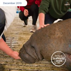 Kringle, the manatee, was showing early signs of cold stress and hypothermia when he was brought to SeaWorld for rehabilitation. Manatees thrive in water temperatures around 68 degrees or higher, but the water where he was rescued was only in the 50s! #365DaysOfRescue