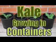 How to Grow Kale in Containers (Growing Kale in Pots Outdoors or Indoors) - YouTube