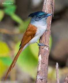 Asian Paradise Flycatcher (female). By Kedar Potnis
