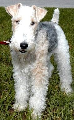 Meet Wire Fox Terriers, a Petfinder adoptable Wire Fox Terrier Dog | Altamonte Springs, FL | ***************************************************************************************************W...