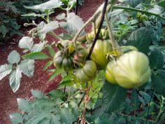 QUE BUENA PINTA TIENEN. Así lucen nuestros tomates de la segunda de las cosechas programadas para este año. En unas semanas estarán listos.