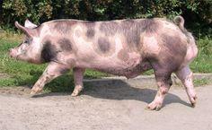 Cerdo pietrain