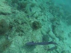 Scuba Dive (Key West, Florida) (Using my Go Pro) - Guru - http://www.florida-scubadiving.com/florida-scuba-diving/scuba-dive-key-west-florida-using-my-go-pro-guru/