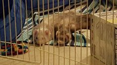 """Augustus and Hazel...""""We played and we played and now we speed bump and stare at you"""" 💓 Speed Bump, Ferret, Board, Ferrets, Sign, Ferret Toys, Planks"""