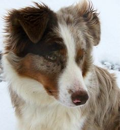 Brilliant 100+ Amazing Australian Shepherds https://meowlogy.com/2017/03/28/100-amazing-australian-shepherds/ Should you be attempting to avert a dog with lots of of odor, keep away from breeds with excessive folds and floppy ears. Every dog needs to be traine...