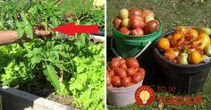 Táto jednoduchá rada vám zabezpečí viac rajčín.