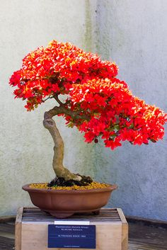Azalea bonsai by Michael Bentley, via Flickr
