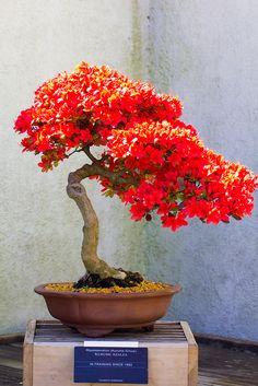 Azalea bonsai by Michael Bentley, via Flickr