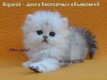 Персидская шиншилла котята