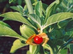 Feeling Physically and Mentally Overwhelmed? Try Ashwagandha - an All-round Wonder Herb for Anxiety, Stress and Toxic Overload