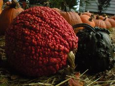 Gigantic hubbard squash called the 'Red Warty Thing' 'Lunch Lady' gourds Thanksgiving Food Crafts, Planting Pumpkins, Pumpkin Squash, Outdoor Pots, Autumn Scenery, Foliage Plants, Summer Garden, Fall Harvest, Fall Pumpkins