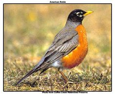 American Robin. I have watched this bird my whole life. Note the white eye ring - many people are not aware of it.