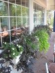 Love the potato plant as a wonderful trailer plant Shade Flowers, Shade Plants, Flower Boxes, Flower Containers, Blog Pictures, Window Boxes, The Great Outdoors, Container Gardening, Outdoor Spaces