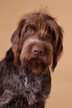 Sabine Nielsen - Wirehaired Pointing Griffon - can we talk?