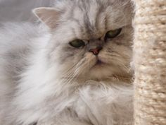 chat Persan -  Silver Shaded   -   mon Sushi ♥