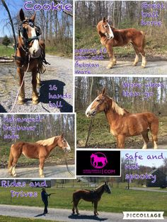 FOUND A NEW HOME   Cookie Approx 16 year old Belgian Mare  16 hands tall  Advanced beginner safe  More whoa than go  Great trail horse  Safe and not spooky  Sweet personality  Nice under saddle Rides and drives