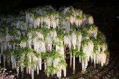 wisteria, Ashikaga